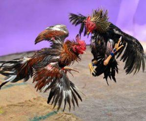 Como alimentar un gallo de pelea herido