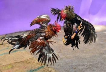 dieta para gallos heridos
