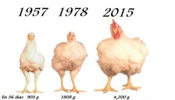 aumentar peso de pollos