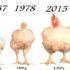 Como hacer Crecer Pollos Rápido