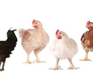 Razas de pollos de engorde