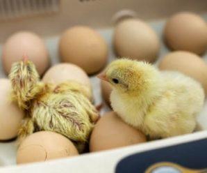 Tipos de incubadoras para huevos