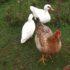 Ventajas de la Cría de Patos sobre los Pollos