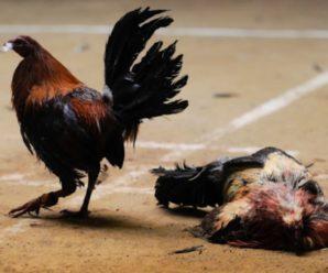 Como Dar Resistencia a un Gallo de Pelea