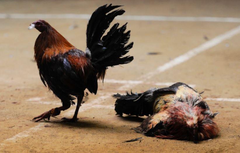 fuerza y resistencia de gallo