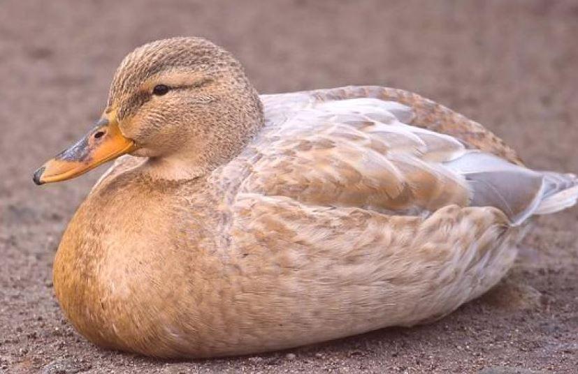 diarrea en los patos