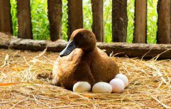 patos de postura de huevo