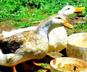 Alimentos para Engordar Patos