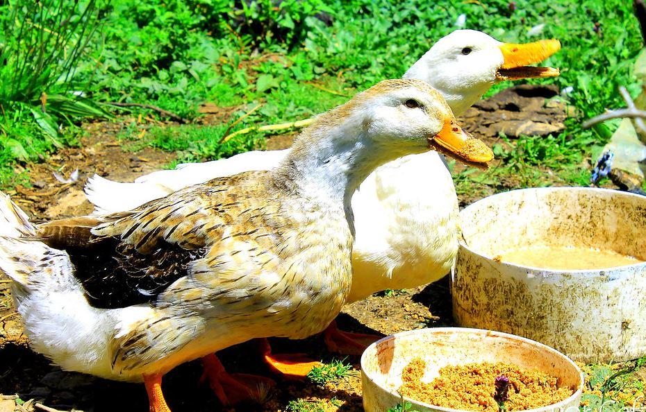 comida para engordar patos