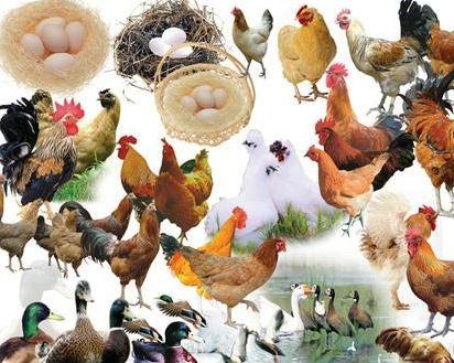 razas de aves de corral