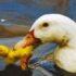 Canibalismo en Patos
