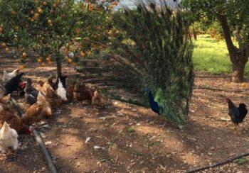 pavo real y pollos