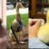 Razas de Patos para Mascotas