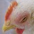 Ceguera en Pollos