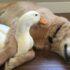 Como Educar a un Pato