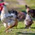 Alimento de Crecimiento para Pollo