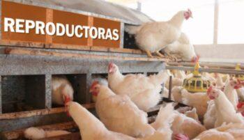 comida para aves reproductoras