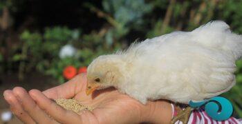 Pollos comiendo