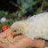Como AUMENTAR el Apetito en Pollos