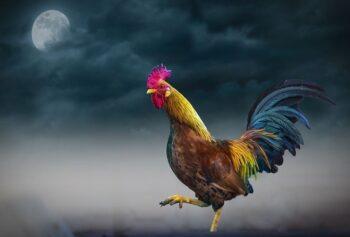 canto nocturno de gallo