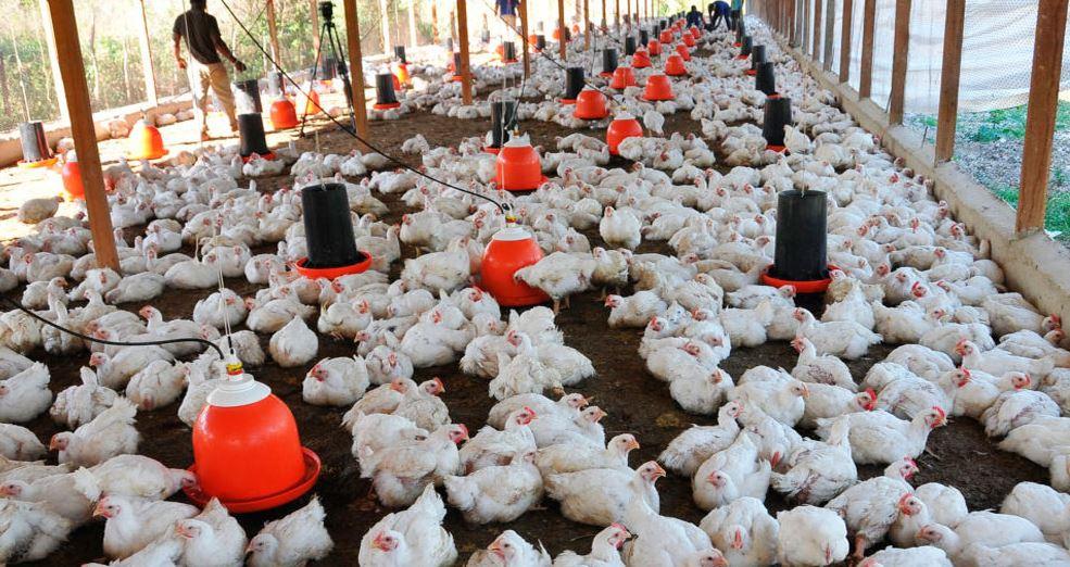 densidad de gallinas