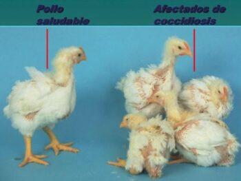 remedio casero contra coccidiosis en pollos