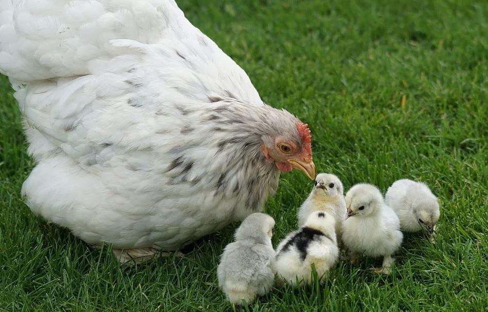 mamá gallina y pollitos