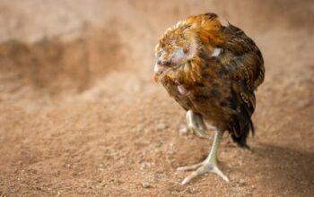 gallina pierde peso