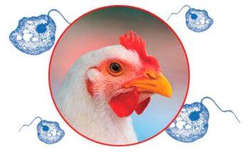 protozo de histomoniasis aviar