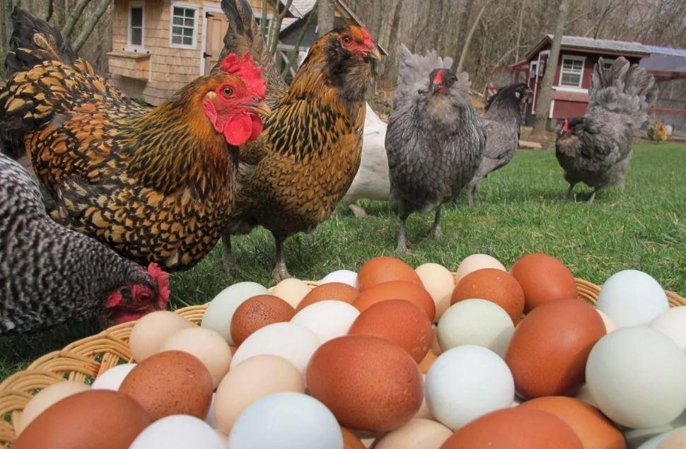 Conversión alimenticia y huevo