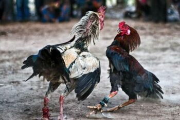 Gallo de pelea agresivo