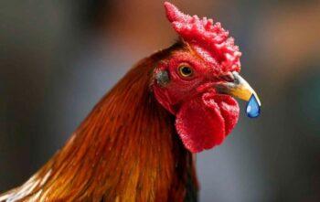 secreción en gallos