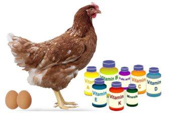 Vitaminas para pollos de postura