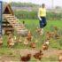 Cuánto Cuesta Poner una Granja de Pollos