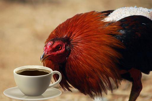 cafeina para despertar a gallos de pelea