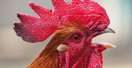 Problemas en la cresta del gallo