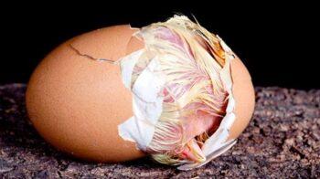 Mueren los pollos antes de nacer