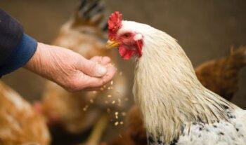 alimento toxico en pollos