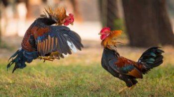 preparar al gallo antes de pelear