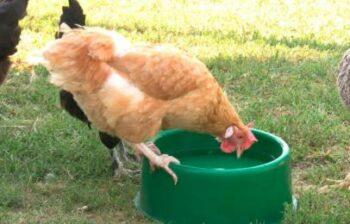 reducir calor en pollos