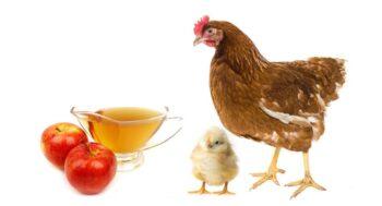 Remedio casero para moquillo en pollos