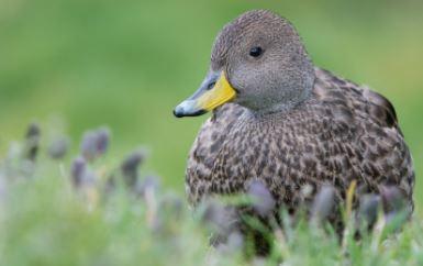 Enfermedad de patos