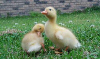 Patos bebés enfermos