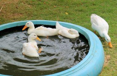 como criar a patos