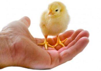Curar pollos intoxicados