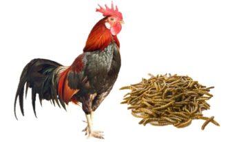 tenebrios para gallinas y pollos