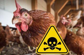 intoxicación de aves