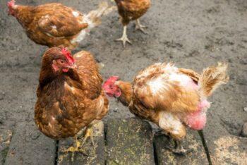 Tratamiento para el picaje en gallinas
