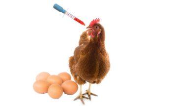 aumentar postura en gallinas