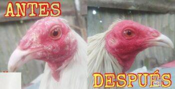 gallos con caspa en barbilla